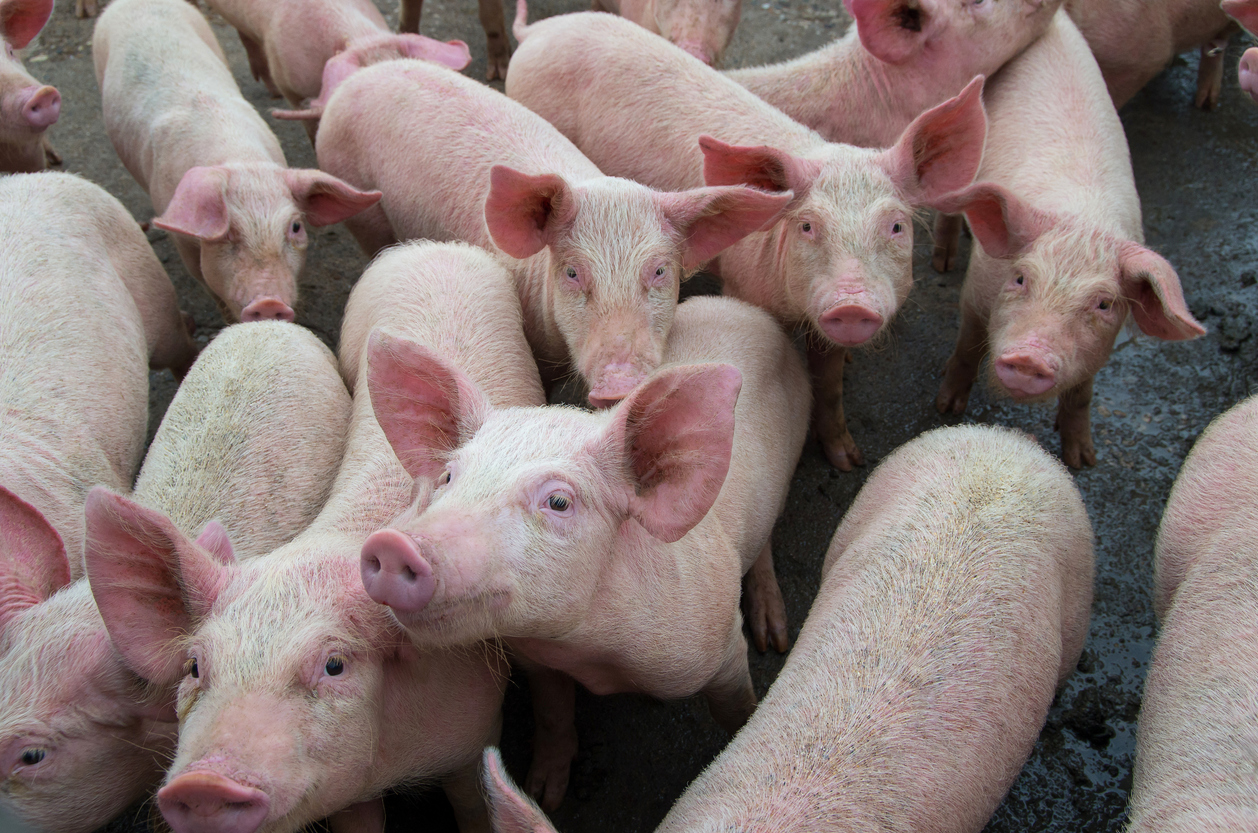 Chinese Study Warns of New Swine Flu with Human Pandemic Risk